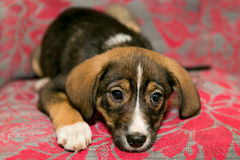 Puppy lying on the coverlet of the sofa Stock Image