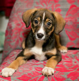 Puppy lying on the coverlet of the sofa Stock Photo