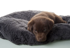 Puppy lying on dog bed Stock Photos