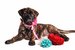 Puppy Lying with Flowers Royalty Free Stock Photo