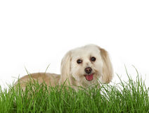 Puppy lying in the grass. Happy puppy lying in the grass and looking up at the camera Royalty Free Stock Photography