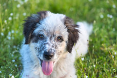 Puppy lying In the grass, close up portrait Royalty Free Stock Photography