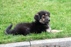 Puppy lying on the lawn Royalty Free Stock Images