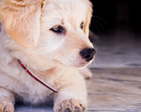 Puppy lying. Lying on the marble white puppy Stock Images