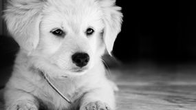 Puppy lying. Lying on the marble white puppy Royalty Free Stock Images