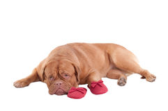 Puppy lying next to red slippers of it's master Royalty Free Stock Image