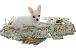 Puppy Lying in Pile of Twenty Dollar Bills. White chihuahua puppy lying in a large pile of US Currency Twenty Dollar Bills,   isolated on white background Royalty Free Stock Photos