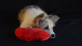 Puppy lying with a pillow heart for Valentines Day. The puppy was lying with heart pillow for Valentine`s Day, tired of playing stock video footage