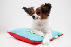 Puppy lying on a pillow Stock Photography