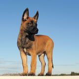 Puppy malinois. Puppy  belgian sheepdgog malinois on a blue sky Stock Photos