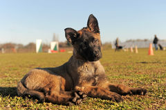 Puppy malinois. Puppy  belgian sheepdgog malinois in a field Royalty Free Stock Image