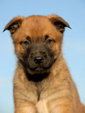 Puppy malinois Royalty Free Stock Image
