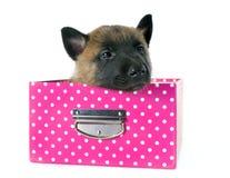 Puppy malinois Royalty Free Stock Photo