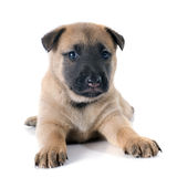 Puppy malinois Stock Images