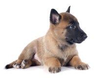Puppy malinois Stock Photo