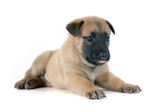Puppy malinois Royalty Free Stock Photography