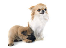 Puppy malinois  and chihuahua. Puppy  belgian sheepdog malinois and chihuahua on a white background Stock Images