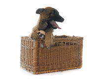 Puppy malinois and chihuahua. In front of white background Royalty Free Stock Images
