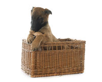 Puppy malinois and chihuahua. In front of white background Stock Photo