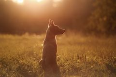 Puppy Malinois dog at sunset. Sitting on the grass field Stock Images