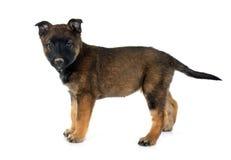 Puppy malinois Stock Photography