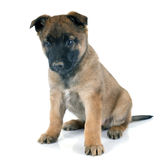 Puppy malinois Royalty Free Stock Images