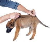 Puppy malinois Royalty Free Stock Photos