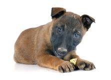 Puppy malinois Royalty Free Stock Photography