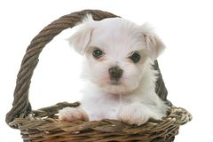 Puppy maltese dog Royalty Free Stock Image