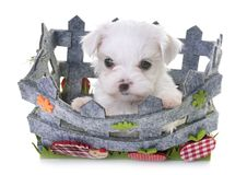Puppy maltese dog Royalty Free Stock Photo
