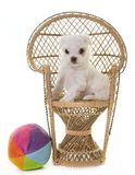 Puppy maltese dog Royalty Free Stock Images