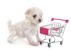 Puppy maltese dog. And trolley in studio Royalty Free Stock Photo