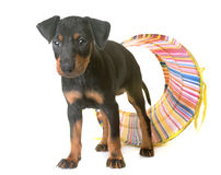 Puppy manchester terrier Stock Photography