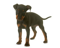 Puppy manchester terrier Royalty Free Stock Photography