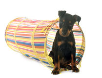 Puppy manchester terrier Stock Image