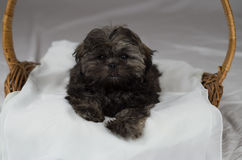 Puppy in mand Royalty-vrije Stock Foto's