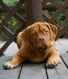 Puppy mastiff from Bordeaux. Stock Photo