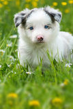 Puppy in a meadow Stock Photos