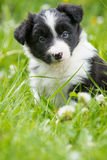 Puppy in a meadow Royalty Free Stock Images