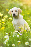 Puppy in a meadow Royalty Free Stock Image