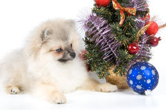 The puppy meets New Year. In studio Stock Image