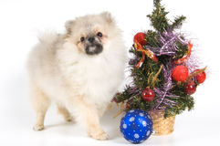 The puppy meets New Year. In studio Royalty Free Stock Photos