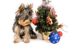 The puppy meets New Year. In studio Stock Images