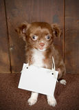 Puppy with a message. Three months old puppy chihuahua dog with an empty card message Royalty Free Stock Photos