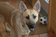 Puppy met bal Stock Fotografie