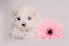 Puppy met bloem Stock Afbeeldingen