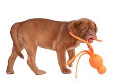 Puppy met een stuk speelgoed in zijn mond Stock Foto