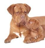 Puppy met mum Royalty-vrije Stock Fotografie