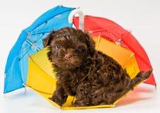 Puppy met paraplu's royalty-vrije stock foto