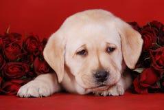 Puppy met rozen stock afbeeldingen